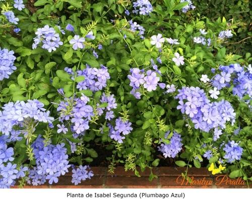 Planta de Isabel Segunda