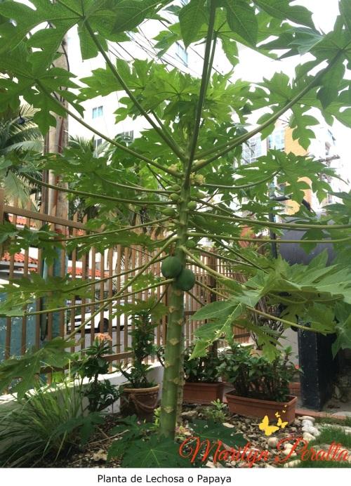 Planta de Lechosa o Papaya