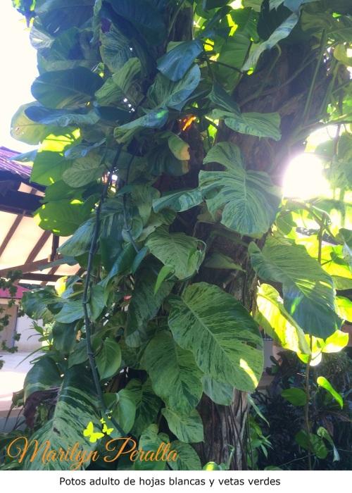 Potos adulto de hojas blancas y vetas verdes