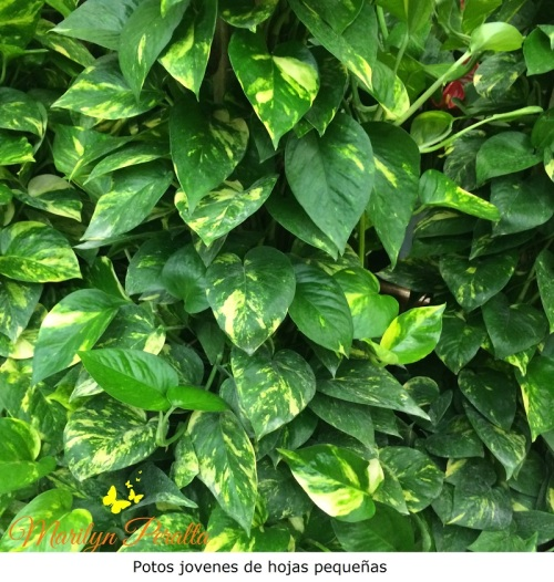 Potos jovenes de hojas pequeñas