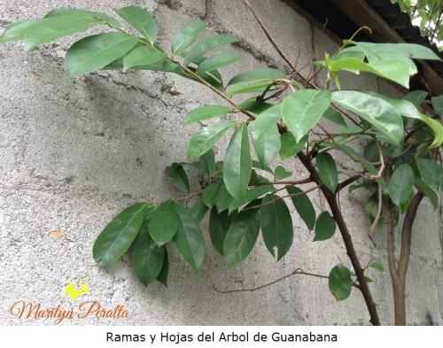 Ramas y Hojas del Arbol de  Guanabana