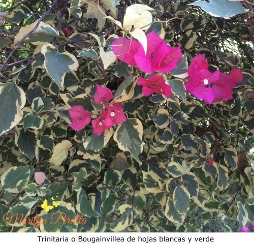 Trinitaria o Bougainvillea con hojas blancas y verde