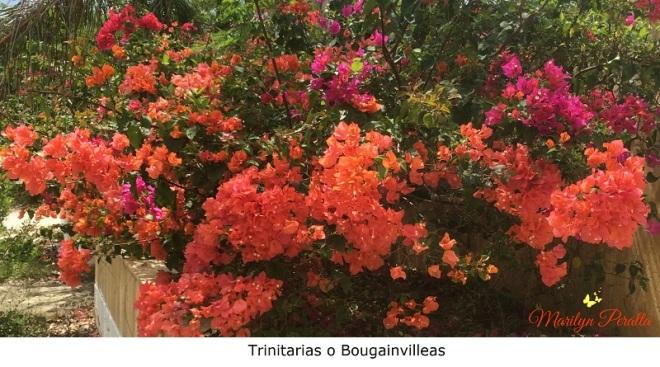 Trinitaria o Bougainvillea