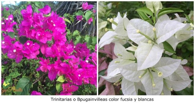 Trinitarias o bougainvilleas color fucsia y blancas