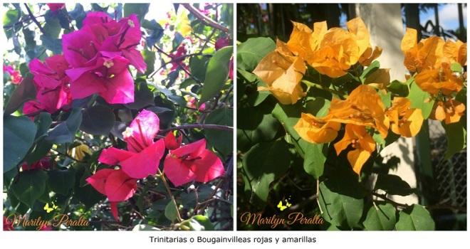 Trinitarias o bougainvilleas rojas y amarillas