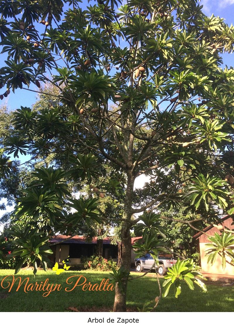 Rbol de zapote rboles y flores en rep blica dominicana for Como se desarrolla un arbol