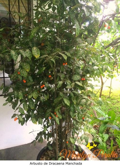 Arbusto de Dracaena manchada