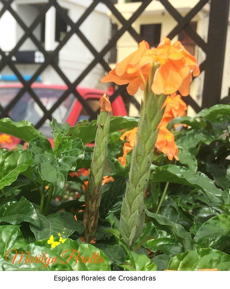 Espigas florales de  Crosandras