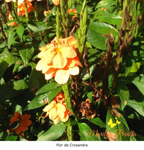 Flor de Crosandra