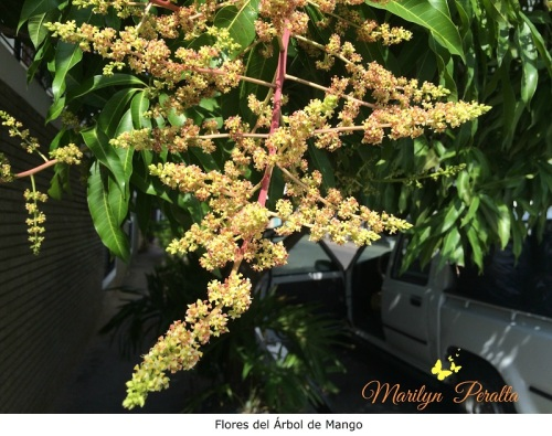Flor del Árbol de Mango