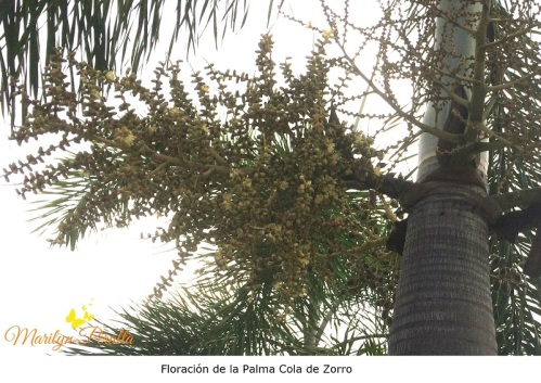 Floración de la Palma Cola de Zorro