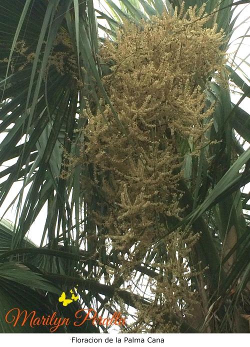 Floración Palma Cana 1