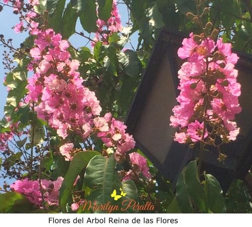 Flores del arbol de Reina de las Flores