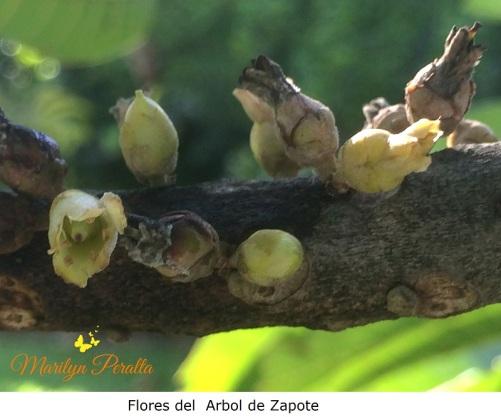 Flores del arbol de Zapote