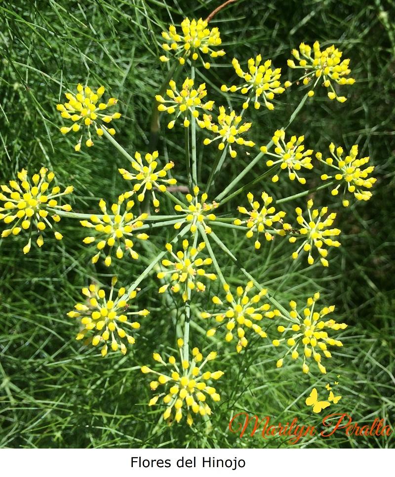 Flores del Hinojo