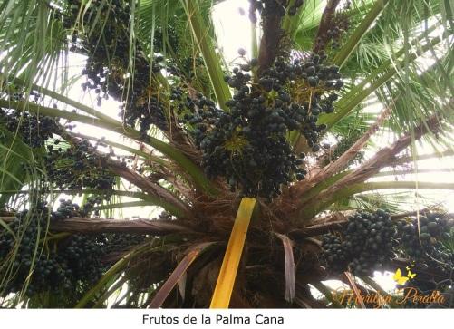 Frutos de la Palma Cana