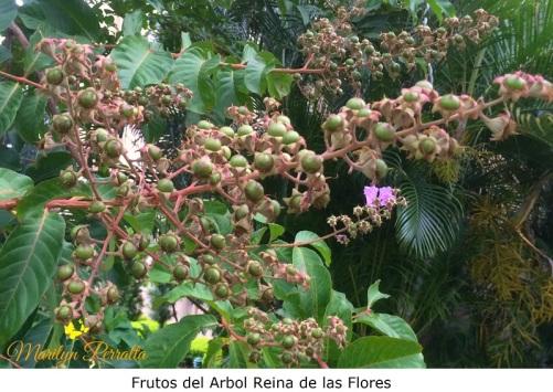 Frutos del Arbol de Reina de las Flores