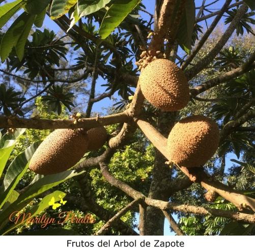 Frutos del arbol de Zapote