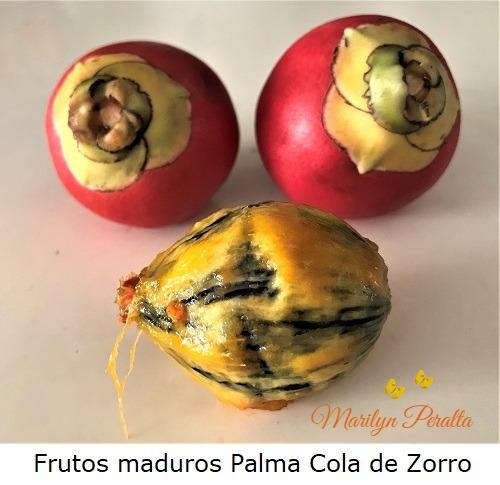 Frutos maduros de la Palma Cola de Zorro