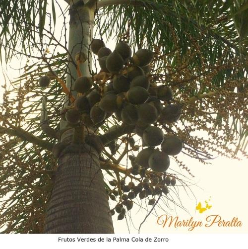 Frutos Verdes de la Palma Cola de Zorro