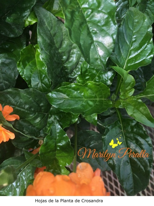 Hojas de la planta de Crosandra