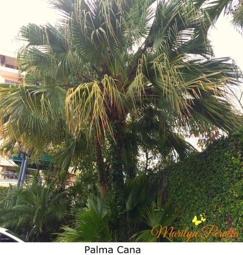 Palma Cana