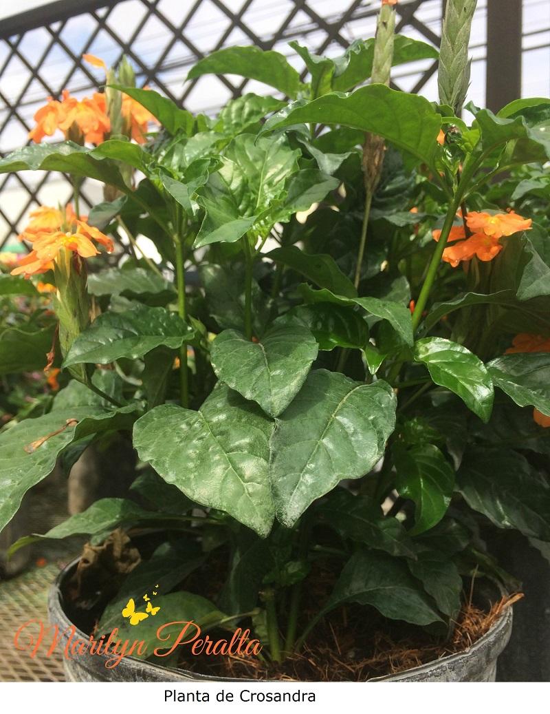 Planta de Crosandra