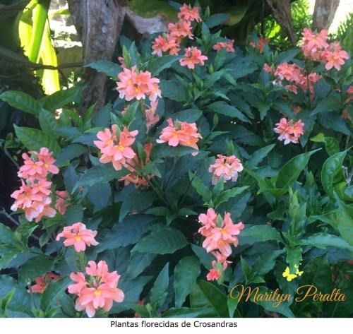 Plantas florecidas de Crosandras