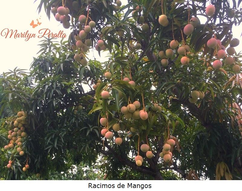 Racimos de Mangos