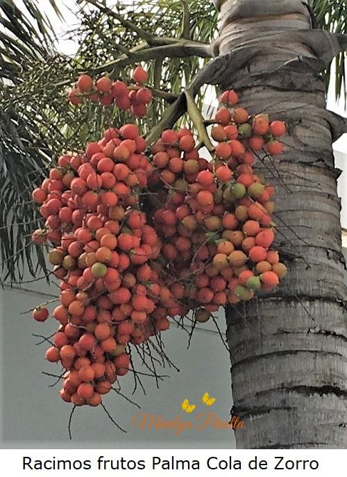 Racimos frutos Palma Cola de Zorro