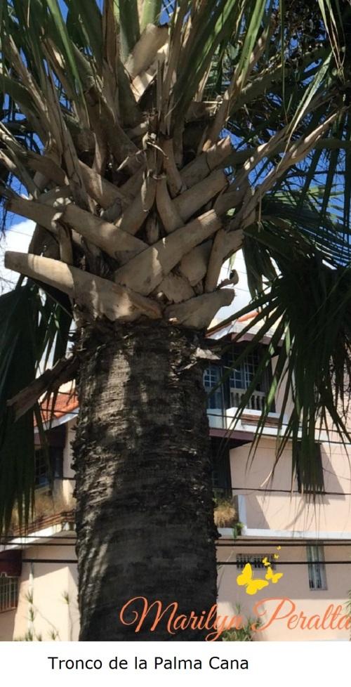 Tronco de la Palma Cana