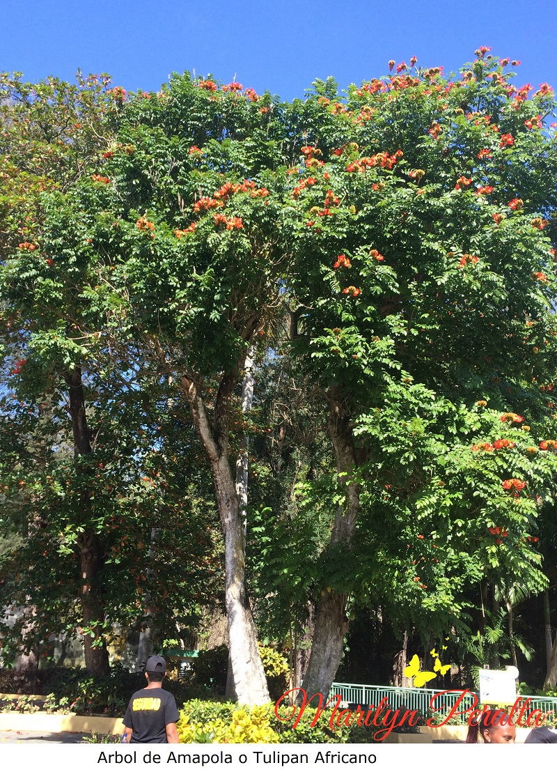 Rbol de amapola o tulip n africano rboles y flores en for Arboles plantas y flores