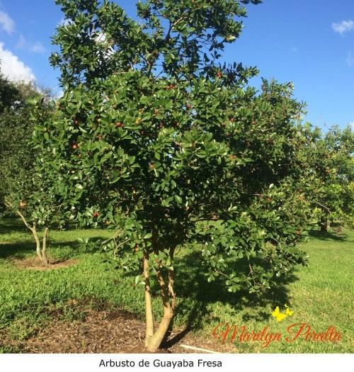 Arbusto de Guayaba Fresa