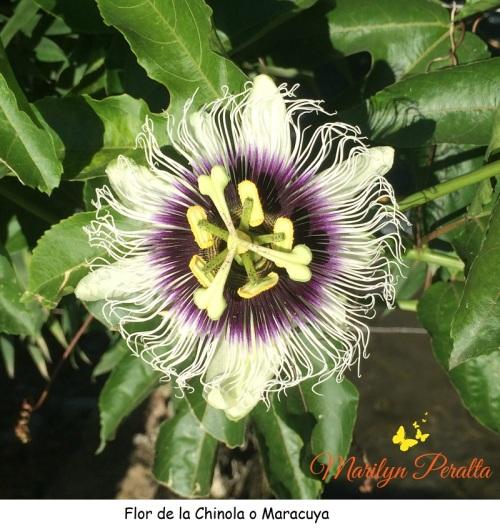 Flor de la Chinola o Maracuya