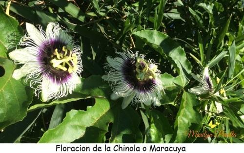 Floracion de la chinola o Maracuya