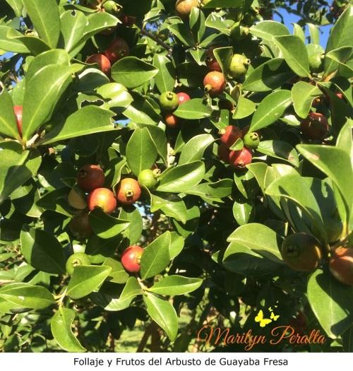 Follaje y Frutos de Guayaba Fresa