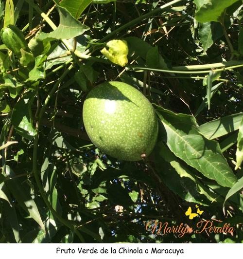 Fruto Verde de Chinola o Maracuyá