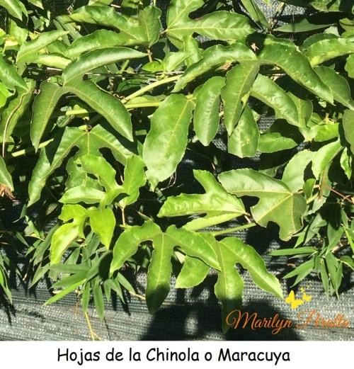 Hojas de la Chinola o Maracuya