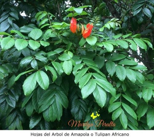 Hojas del Arbol de Amapola o Tulipán Africano