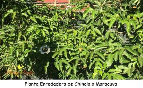 Planta enredadera de Chinola o Maracuyá