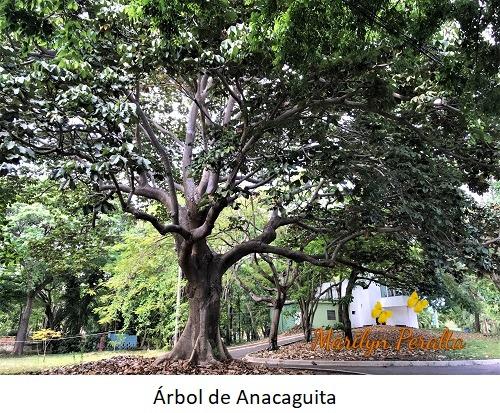 Arbol de Anacaguita
