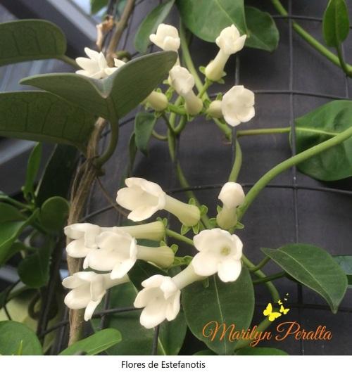 Flores de Estefanotis