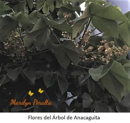 Flores del Arbol de Anacaguita