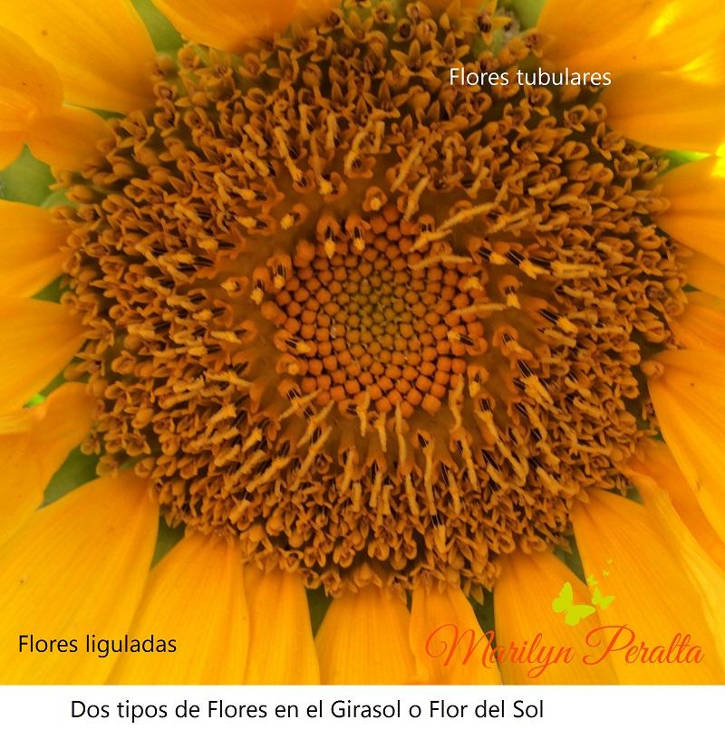 Flores liguladas y tubulares del Girasol o Flor del Sol