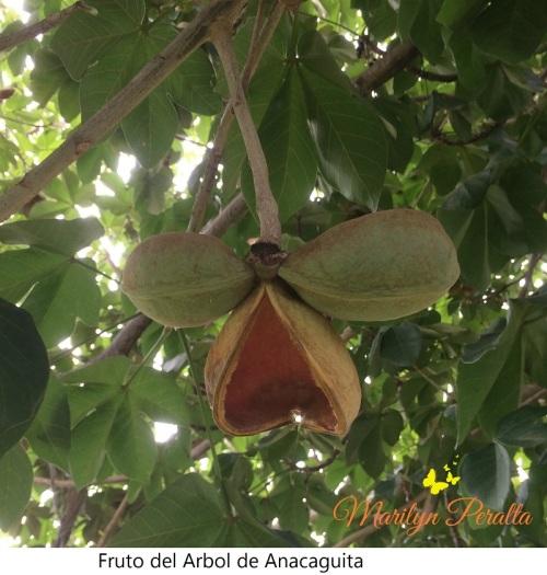 Fruto del Arbol de Anacaguita