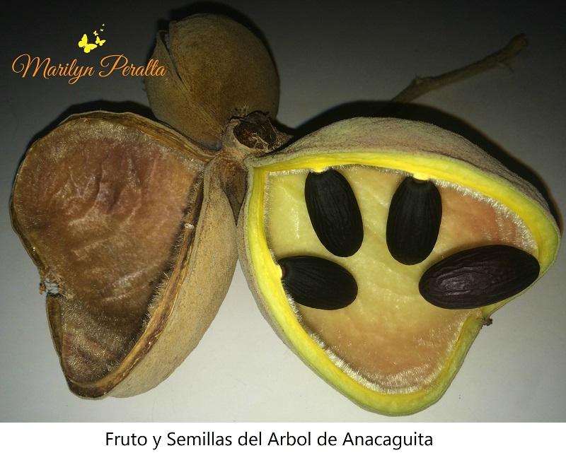 Fruto y semillas del Arbol de Anacaguita