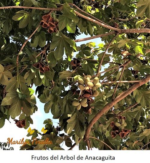 Frutos del Arbol de Anacaguita