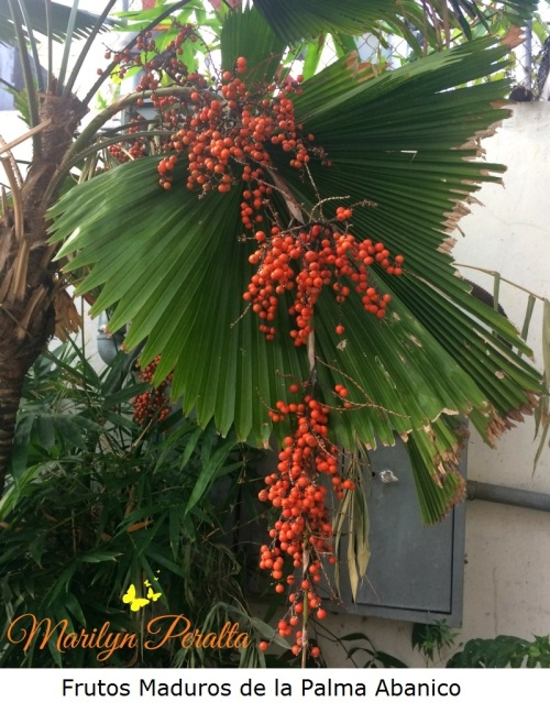 Frutos maduros de la Palma Abanico