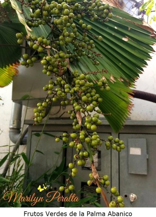 Frutos Verdes de la Palma Abanico