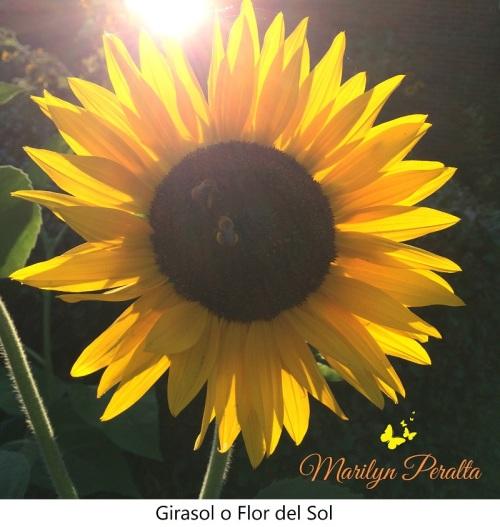 Girasol o Flor del Sol